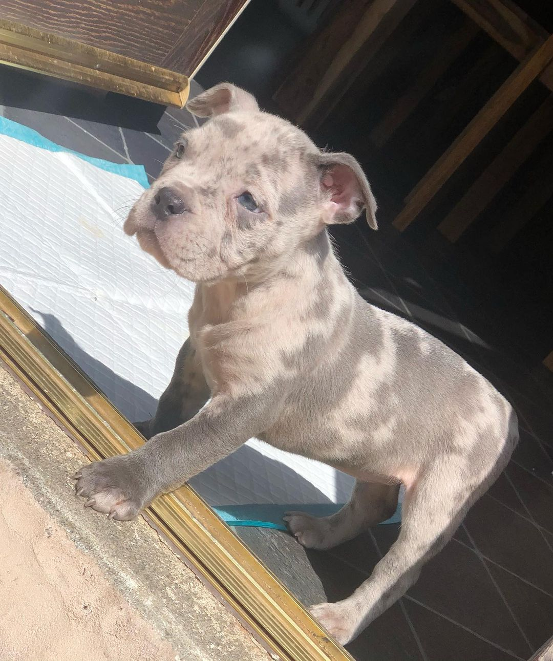 american bully puppies for sale near me, american bully pocket, american bully for sale near me, micro american bully, american bully for sale $900, pocket american bully-micropocketbully